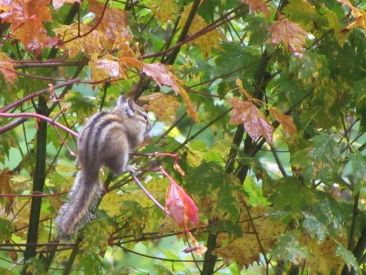 Chipmunk on vine maple twig in Fall