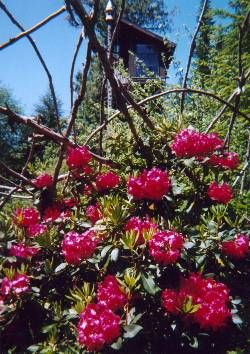 Rhodies in full splendor, Summer 2002.  (Stairwell viewing room and bird feeder in background.)